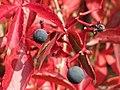20170926Parthenocissus quinquefolia2.jpg