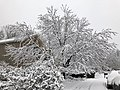 2018-03-21 12 16 23 A snow-covered Red Maple along Elderberry Place (Virginia State Route 7145) in the Franklin Glen section of Chantilly, Fairfax County, Virginia.jpg