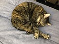 2019-12-06 13 51 20 A Tabby cat sleeping on a bed in the Franklin Farm section of Oak Hill, Fairfax County, Virginia.jpg
