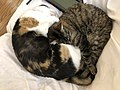 2020-05-13 02 09 27 A Calico cat and a tabby cat cuddling while sleeping on a couch in the Franklin Farm section of Oak Hill, Fairfax County, Virginia.jpg