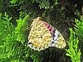 294黑端豹斑蝶13(蔡鴻銘攝) (19039059672).jpg
