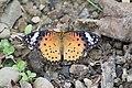 294黑端豹斑蝶14(郭月秀攝) (12944000313).jpg