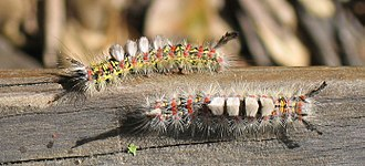 Western tussock moth - Pair of mature caterpillars, early May