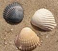 3 Cerastoderma glaucum shells.jpg