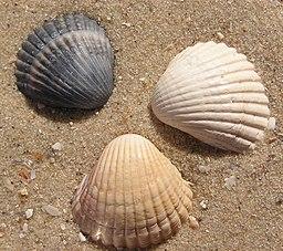 3 Cerastoderma glaucum shells