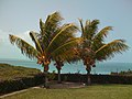 3 Golden Coconut Palm Trees of Paradise - panoramio.jpg