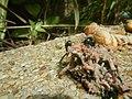 4217Foods Common houseflies Ants of the Philippines 13.jpg