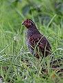 4576-quail.jpg