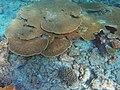 A. cytherea Maldives.JPG
