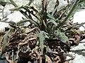 A.integrifolia-leav.-1.jpg