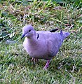 A Collared Dove - geograph.org.uk - 1366368.jpg