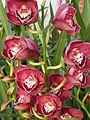 A and B Larsen orchids - Cymbidium Valley Regent Reggae DSCN4671.JPG