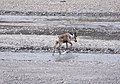 A caribou crosses a shallow, braided river (7f7fd7ca-1e3e-4683-b173-495bf71db125).jpg