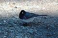 A dark-eyed junco (7065e538-36f2-43ac-afa0-995c140d6b07).jpg