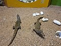 A display of crocodile hatchlings at the Crocodile Farm, Victoria Falls.jpg