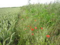 A field with some red flowers.jpg