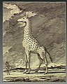A giraffe in the wild towering above an African tribesman. W Wellcome V0021558 up.jpg