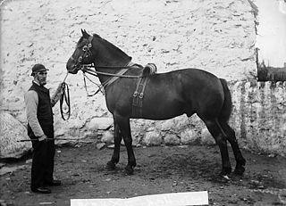 A horse (Lloyd)