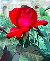 A rose in fool bloom at Rashtrapati Bhawan in New Delhi on March 14, 2005.jpg