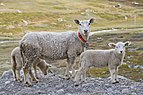 A sheep with a couple of lambs in Breidsæterdalen, 2013 June.jpg