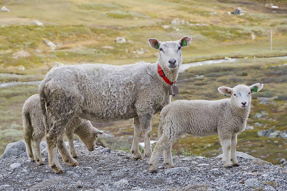 A sheep with a couple of lambs in Breidsæterdalen, 2013 June