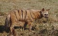Aardwolf, Proteles cristata, at Lion and Rhino Reserve, Gauteng, South Africa (47987215058).jpg