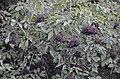 Ab plant 323.jpg