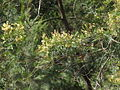Acacia parramattensis-branch.jpg