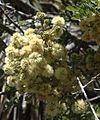 Acacia roemeriana flora.jpg