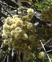 Acacia roemeriana flora