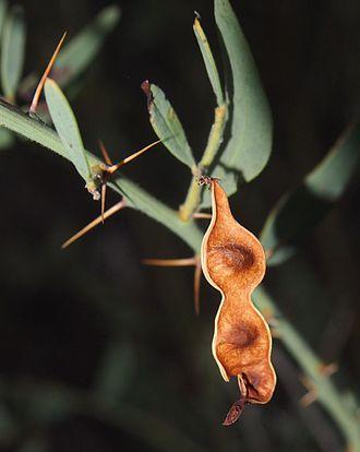 Acacia victoriae - Legume