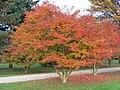 Acer palmatum atropurpureum, Rentilly.jpg