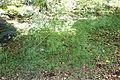 Acer pentaphyllum - Quarryhill Botanical Garden - DSC03225.JPG