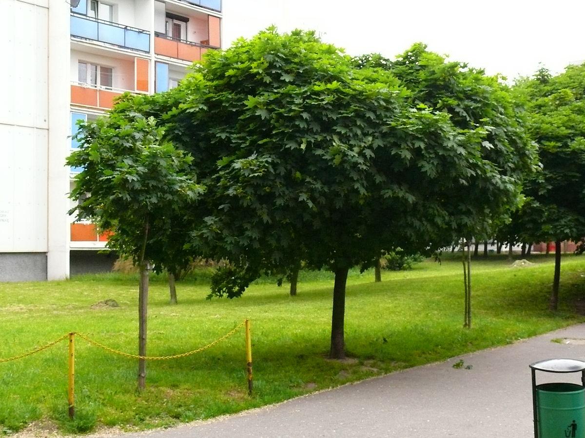 acer arbre