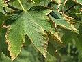 Acer pseudoplatanus, Niš.jpg