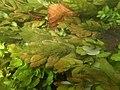Ache nodiflore (Helosciadium nodiflorum) et algues filamenteuses dans les Baillons aout 2017a 02.jpg