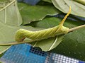 Acherontia styx (Thailand, Nonthaburi, Moo 8 Bangyai, Habitia Bangyai, 18.v.2015) (D. Kruger) L3 (maybe) 1.jpg