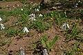 Acis trichophylla kz07 Morocco.jpg