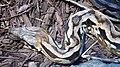 Acrantophis madagascariensis head (2).jpg