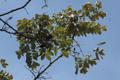 Acrocarpus fraxinifolius KR17 Bhowali Tree 2.png