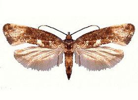 Acrolepiopsis assectella (ento-csiro-au).jpg