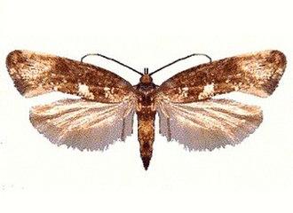 Leek moth - Image: Acrolepiopsis assectella (ento csiro au)