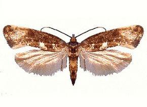 teigne papillon