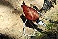 Actophilornis africana.JPG