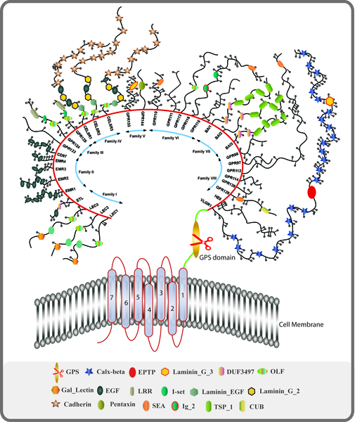 Adhesion-GPCR receptor family