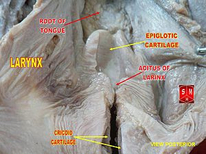 Advanced and retracted tongue root - Root of tongue