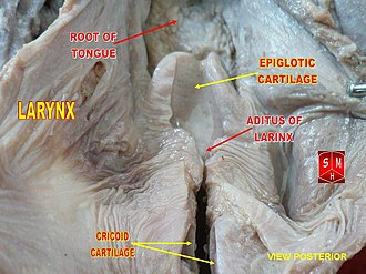 Advanced and retracted tongue root - Root of tongue