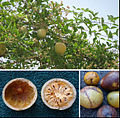 Aegle marmelos tree and fruits.jpg