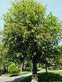 Aesculus carnea 'Briotii' J1.JPG