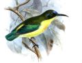 Aethopyga pulcherrima jefferyi Ibis17brit 0156a.png